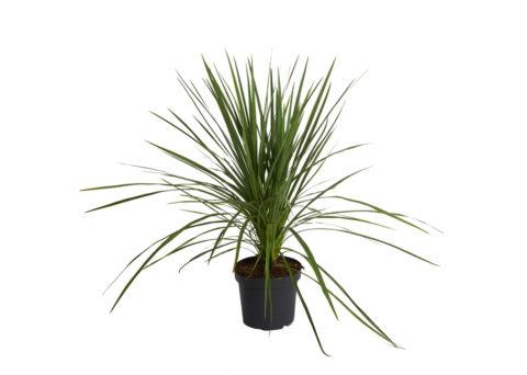 Caporalplant - Cordyline indivisa vaso 26