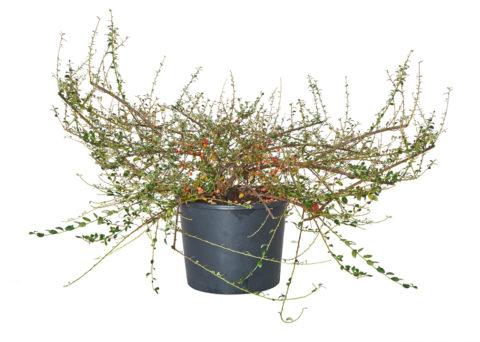 Caporalplant - Cotoneaster