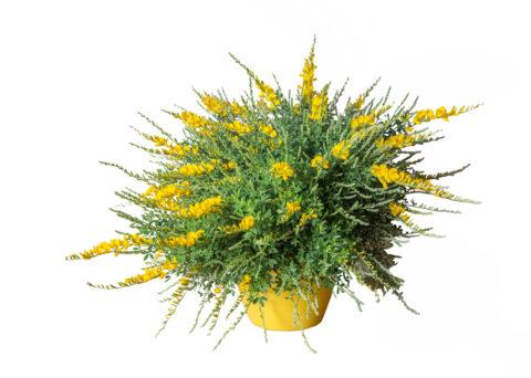 Caporalplant - Cytisus racemosus