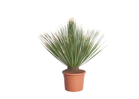 Caporalplant - Dasylirion