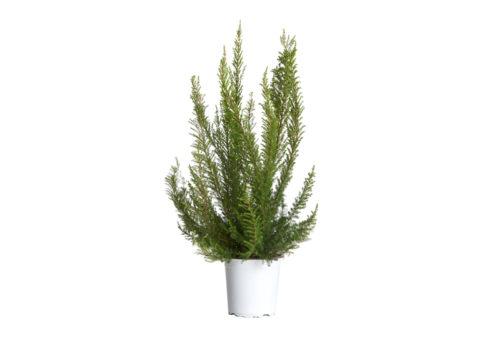 Caporalplant - Erica arborea