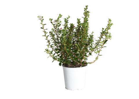 Caporalplant - Escallonia rosa