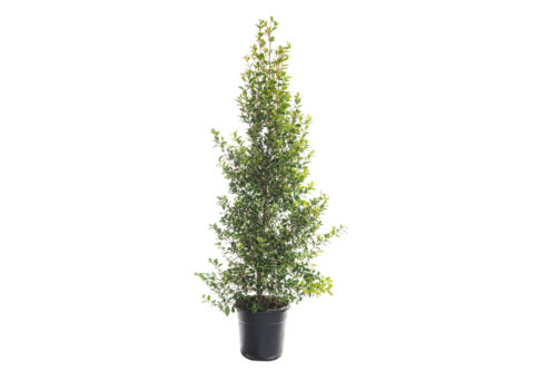 Caporalplant - Eugenia