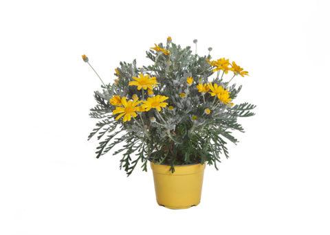 Caporalplant - Euryops