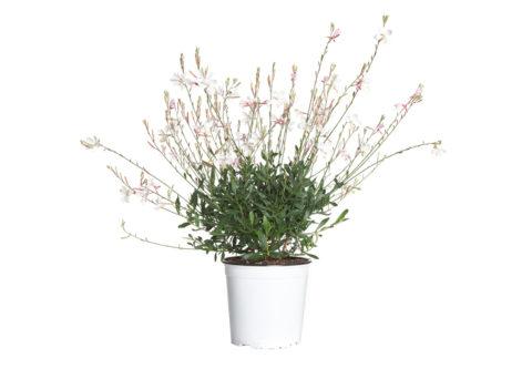 Caporalplant - Gaura bianca vaso 17