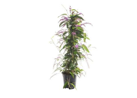 Caporalplant - Handerbergia viola