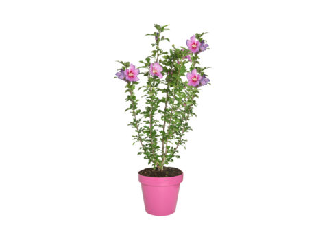 Caporalplant - Hibiscus syriacus vaso 24