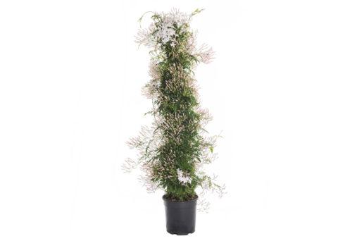 Caporalplant - Jasminum polyanthum