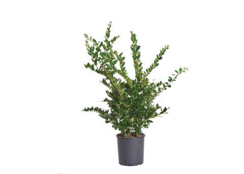 Caporalplant - Ligustrum texano verde