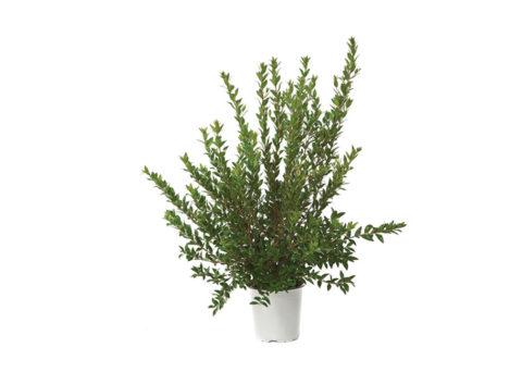 Caporalplant - Myrtus comumis cespuglio vaso 17