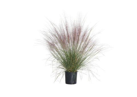 Caporalplant - Muhlenbergia capillaris