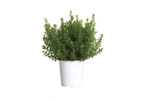 Caporalplant - Myrsine africana