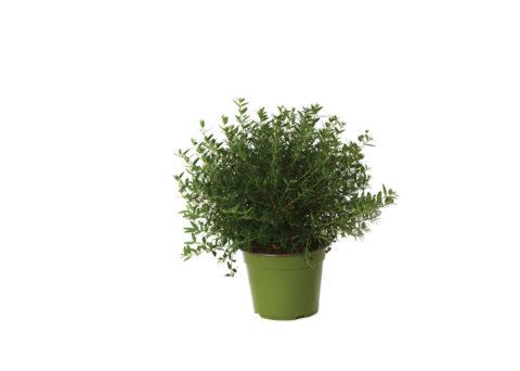 Caporalplant - Myrtus microphylla cespuglio vaso 14