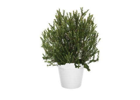 Caporalplant - Myrtus tarentina vaso 24