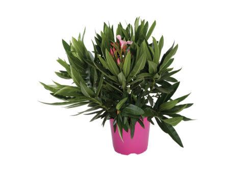 Caporalplant - Nerium oleander rosa cespuglio vaso 17