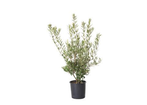 Caporalplant - Olea europea cespuglio