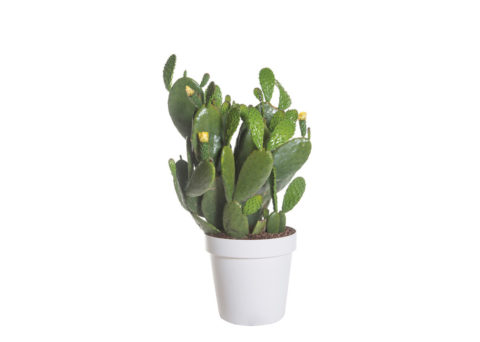 Caporalplant - Opuntia ficus indica