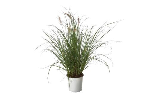 Caporalplant - Pennisetum alopecoroides cespuglio