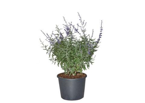 Caporalplant - Perovskia atriplicifolia