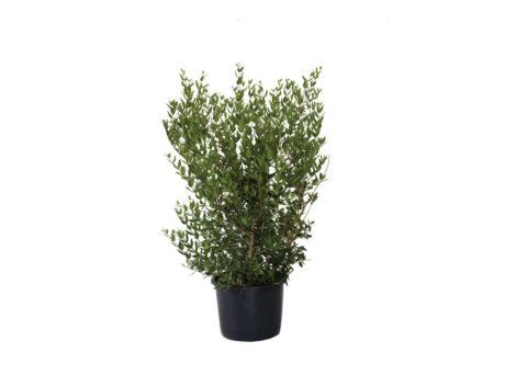 Caporalplant - Phillyrea angustifolia vaso 30