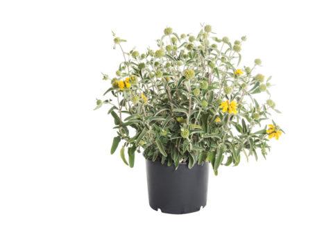 Caporalplant - Phlomis fruticosa