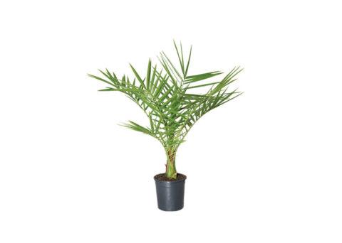 Caporalplant - Phoenix canariensis