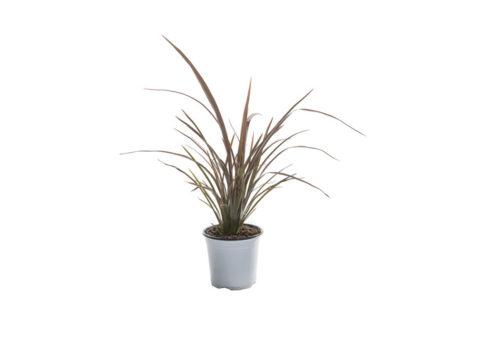 Caporalplant - Phormium purpureum