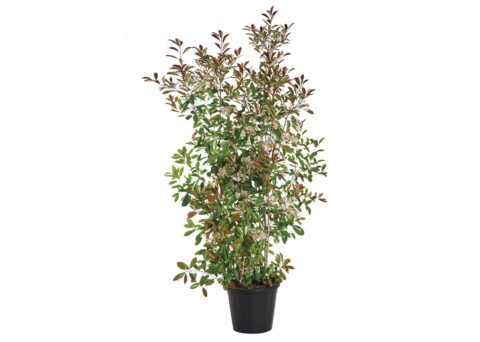 Caporalplant - Photinia red robin vaso 50