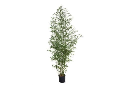 Caporalplant - Phyllostachys aurea vaso 20