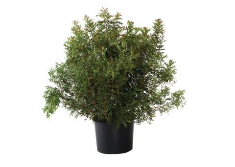 Caporalplant - Pistacia lentiscus cespuglio palla 50