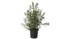 Caporalplant - Olea europea alberello vaso21