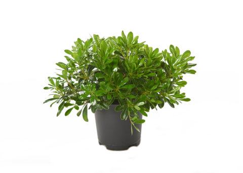 Caporalplant - Pitosforo tobira cespuglio vaso 17