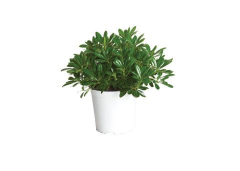 Caporalplant - Pitosforo tobira nano