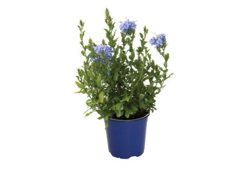 Caporalplant - Plumbago auriculata cespuglio vaso 17