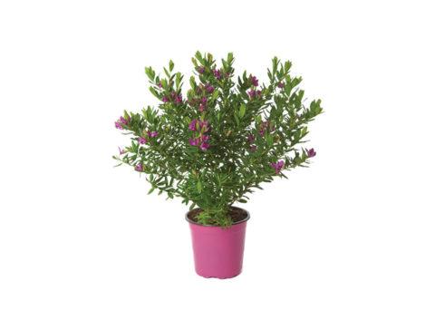 Caporalplant - Polygala myrtifolia cespuglio vaso 17