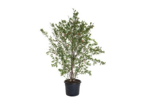 Caporalplant - Punica granatum da frutto