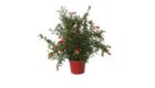 Caporalplant - Punica granatum da frutto cespuglio vaso 17