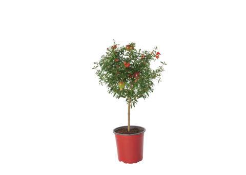Caporalplant - Punica granatum nanum alberello