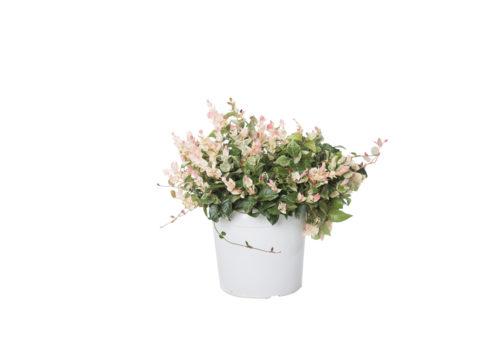Caporalplant - Rhyncospermum asiaticum vaso 21