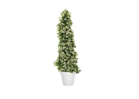 Caporalplant -Rhyncospermum piramide vaso 50