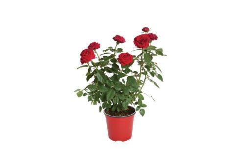 Caporalplant - Rosa cespuglio vaso 17