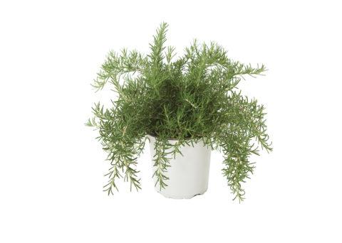 Caporalplant - Rosmarinus officinalis prostratum cespuglio vaso 40