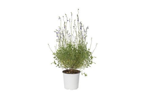 Caporalplant - Salvia da fiore