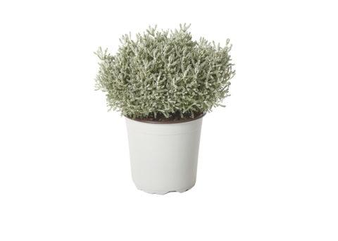 Caporalplant - Santolina neapolitana cespuglio vaso 17