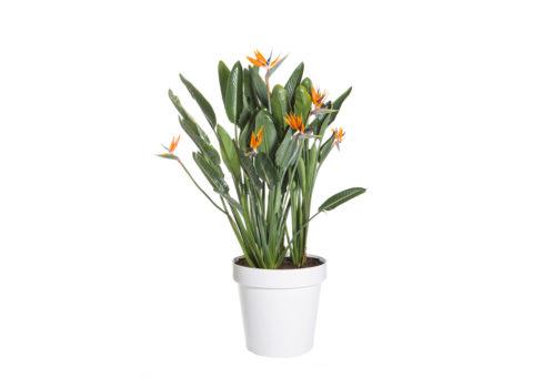 Caporalplant - Strelitzia reginae