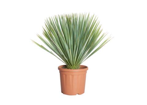 Caporalplant - Yucca rostrata