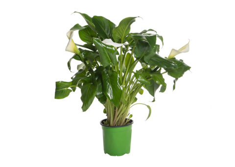 Caporalplant - Zantedeschia