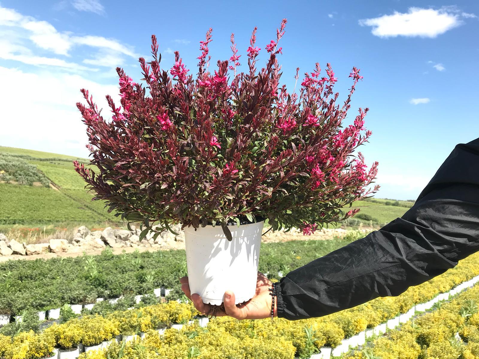 Cespugli Sempreverdi Con Fiori top 5. le piante della settimana: dall'abelia ai fiori di lillà