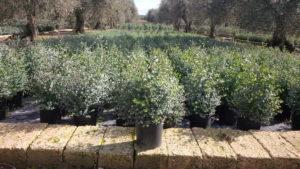 Eucalyptus Gunnii vaso 24